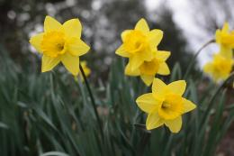 Daffodil flower wallpaper|Free download Daffodil flower wallpaper 866