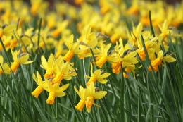 daffodil wallpaper 9 235