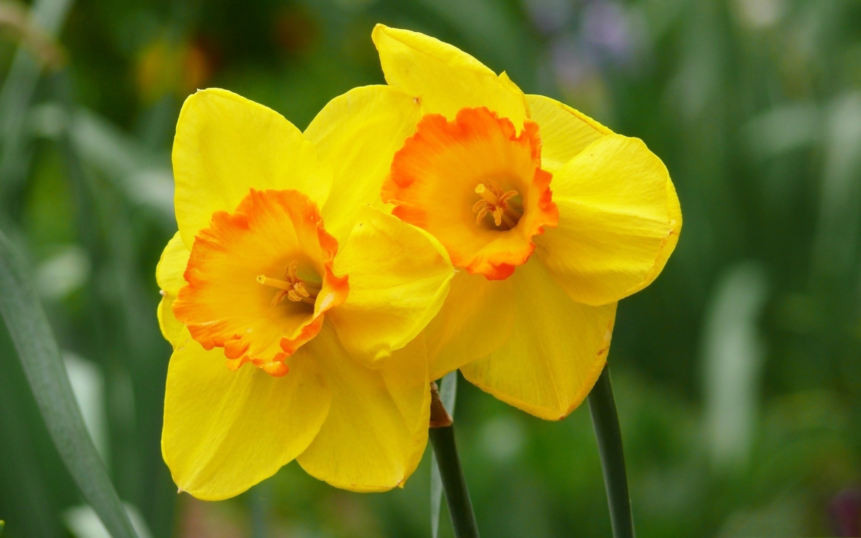 Description: The Wallpaper above is Yellow daffodils hd Wallpaper in 1496