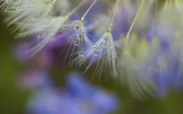 Wallpaper close up, dandelion, seeds, dew, drop wallpapers macro 506