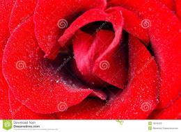 Red Rose With Dew Drops Closeup Stock PhotoImage: 16545400 382