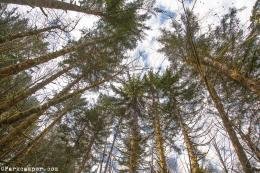 The canopy above Gales Creek Campground, Tillamook State Forest 1504