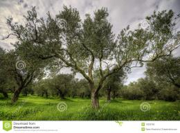 Olives Tree In A Green Field And Dramatic Sky Stock PhotoImage 165
