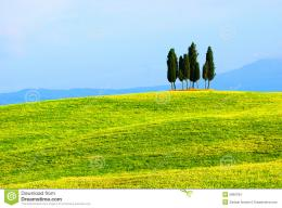 small cluster of cypress trees stand alone in a lush green field 1313
