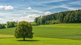 Green tree on the green field wallpaper 463