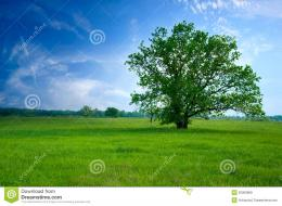 Tree On Green Field Royalty Free Stock ImagesImage: 20009869 1291