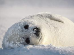 Harp Seal | Cute Animal Interesting Facts & Images 1261