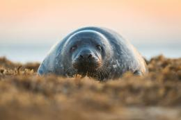 Related Pictures animal seal wallpaper desktop backgrounds 1415