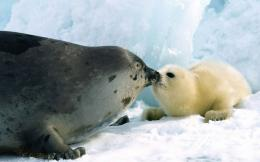 Harp Seal Desktop Wallpapers 788