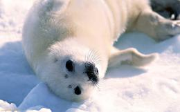 Wallpapers Animals Desktop Wallpaper Baby Seal Canadian 1675