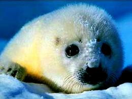 1920x1440 pixel Desktop Wallpapers : Baby Harp Seal Wallpaper Mj 1903