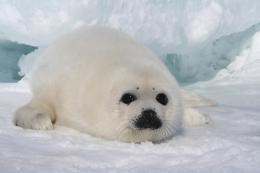 Harp Seal | Cute Animal Interesting Facts & Images 1106