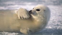 Funny Animal Harp Seal Desktop Wallpaper For Puter Widescreen 413
