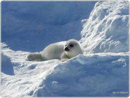 harp seal pup wallpapers desktop wallpapers pictures and photos free 1305