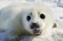 Computer Background: Also known as the saddleback seal, the harp seal 1626