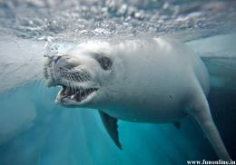 Underwater White Seal Desktop Wallpaper 967