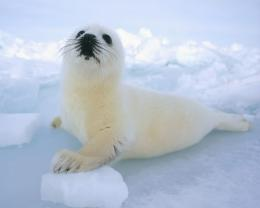 Harp Seal Desktop Wallpapers 1897