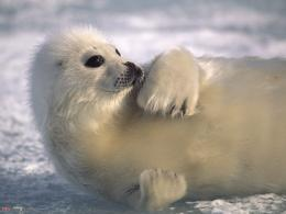 Pictures Harp Seal Atlantic Ocean and Arctic Ocean 1400x1050 pixel 801