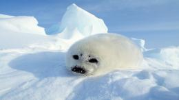 Harp seal pup free desktop background 1079