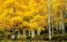 download birch forest in yellow hdr wallpaper tags forest yellow white 1211