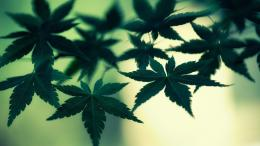 Cannabis leaves HD wallpaper 1920x1200 1152x864 1024x768 1600x1200 369