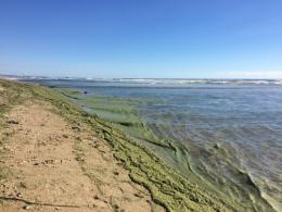 Toxic Green Sludge in Newport Beach 443