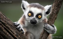 wallpaper ring tailed lemur, Monkey, nature free desktop wallpaper 1779