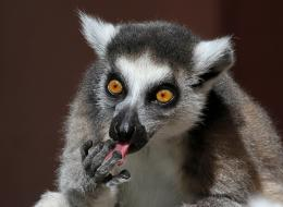 lemurs picpetz desktop wallpaper download lemurs picpetz wallpaper in 1459