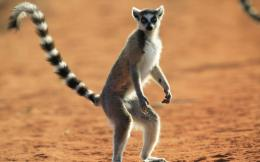 Lemur Desktop Wallpapers 1424