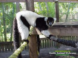 black and white ruffed lemur lemur desktop wallpaper 1062