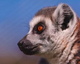 Lemur profile 1280x1024 wallpaper download page 455140 337