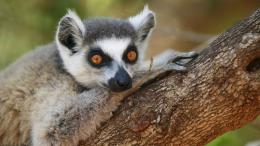 Lemurs wallpaper 1110