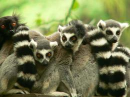 Lemur Desktop Wallpapers 375