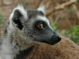 Lemur Wallpaper, Resolution:1024x768, 27views, Image Size:161 75k 1522