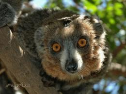 Lemur Wallpaper, Resolution:1024x768, 16views, Image Size:164 43k 1720