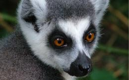 Photo of a Lemur 1017