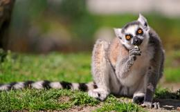 An eating ringtail lemur 1920x1200 wallpaper download page 614083 1359