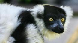 Download wallpaper Black and White Ruffled Lemur: 169