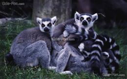 Download wallpaper lemurs, animals, Madagascar free desktop wallpaper 1745