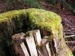 mossy+stump jpg 296