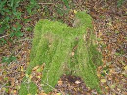 mossy stump 1340