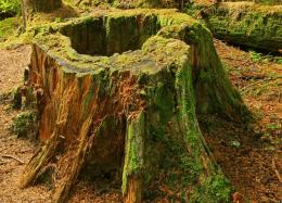 PanoramioPhoto of Tree Stump and Moss09 26 08* 1513