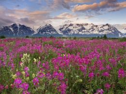 Fields of Vetch, Alsek River Valley, British Columbia, Canada 958