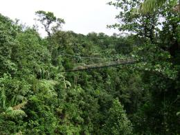 Dominica's Rain Forest » rainforest bridge 726