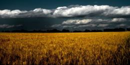 WHEAT FIELD wallpaperForWallpaper com 1130