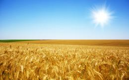 wheat field wallpaper sunrise on green wheat field summer wheat field 1240