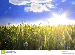 Blue sky with white clouds and sun over wheat field 249