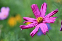 Vivid Pink Cosmos by Caloxort on deviantART 666