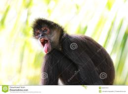 spider monkey wallpaper 1308