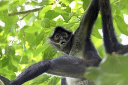 black spider monkey, black spider monkey wallpaper, black spider 1330